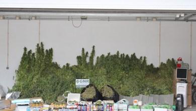 Photo of Casal detido por tráfico e cultivo de cannabis em Águas de Moura