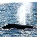 Baleias Jubarte e Arquipélago dos Abrolhos são as atrações do litoral sul da Bahia