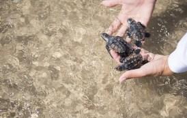 Txai Resort Itacaré tem projeto de preservação das tartarugas marinhas
