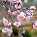 小石川後楽園の梅林で写真さんぽ(冬・5)