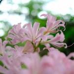 ピンクの彼岸花ナツズイセン・最近の写真さんぽ(夏・20)