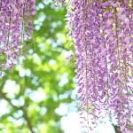 藤色散歩(春・14)