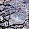 地蔵院しだれ桜2015(春4)