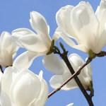 白木蓮と桜