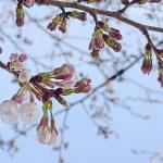 二分咲き桜