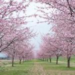 オオカンザクラ(写真散歩・春6)