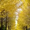銀杏並木で落ち葉の上を散歩してきました(写真さんぽ・秋13)