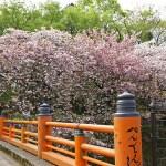 ふじみ野写真散歩・春11(八重桜)
