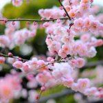 梅が満開。週末写真さんぽは漱石の猫も。(写真散歩・冬8)