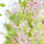 白い花さんぽ(ふじみ野写真散歩・春5)
