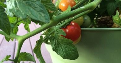 Tomatoes, we hardly knew ye