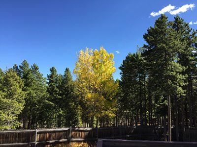 Aspen tree 2016