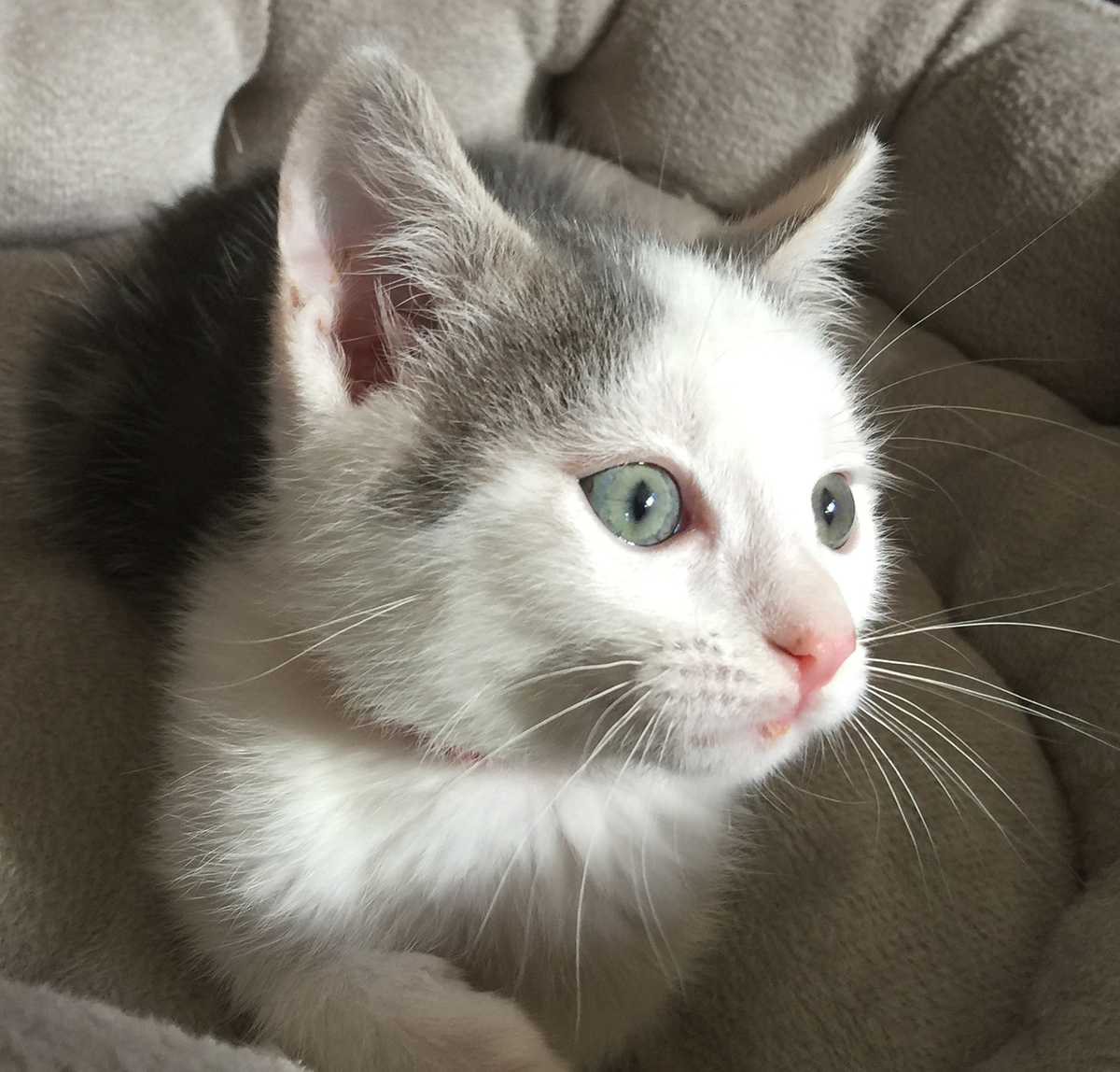 Ed - FAS foster kitten June 2018