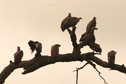 Wild vultures in the Gambia.