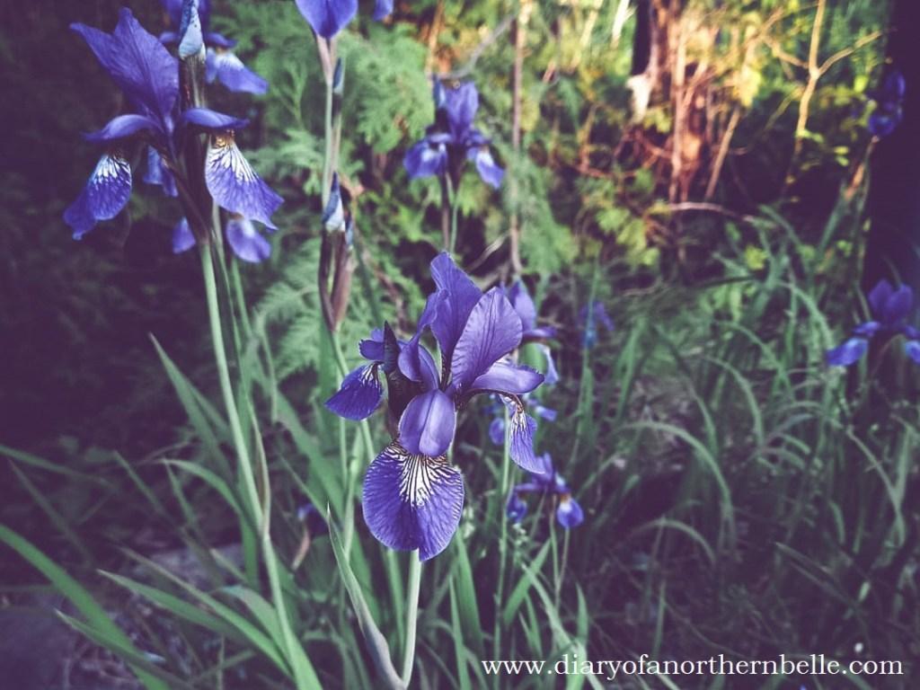 blooming blue irises