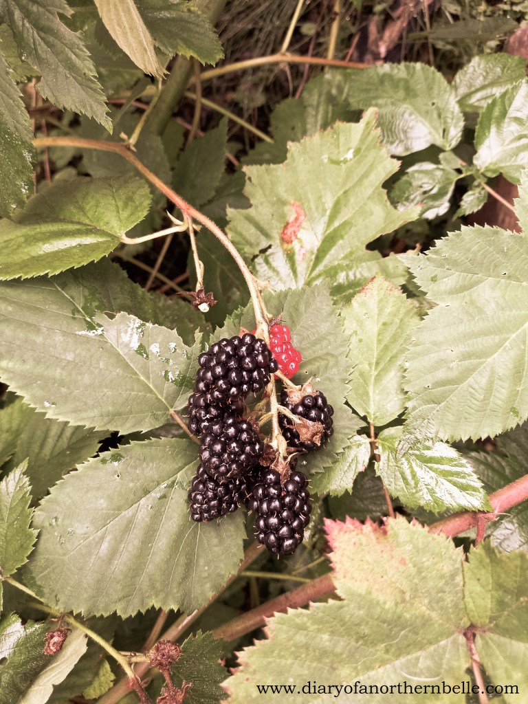 real blackberry branch in nature