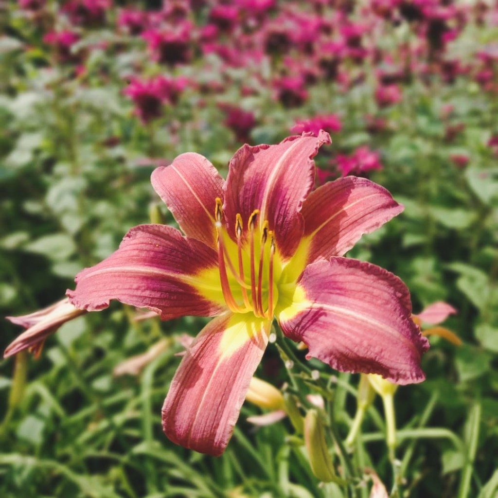 day lily from the garden