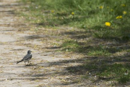 Wandering white wagtail