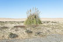 Tarnos-Herbe de la pampa -Cortaderia selloana