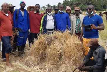 Guinée/Agriculture : l'AP40 lance la récolte de 36 hectares de riz dans le district de kalèxè (Boffaà