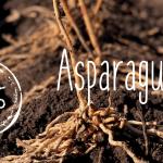 Level Zero Asparagus