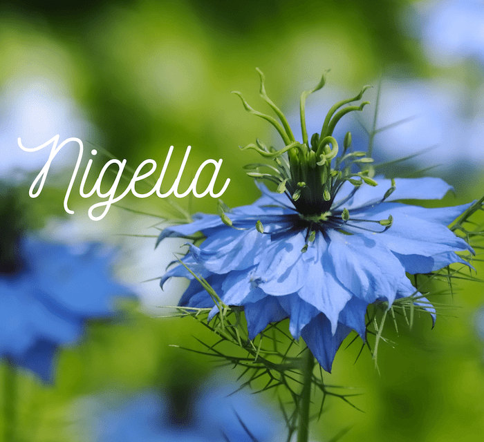 NIGELLA in SPRING for Pollinators