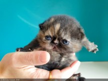 BLACK-TORTIE-LOLLIPOP-2-weeks (14 sur 20)