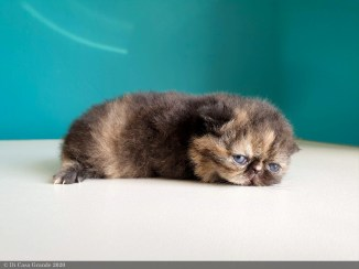 BLACK-TORTIE-LOLLIPOP-2-weeks (20 sur 20)