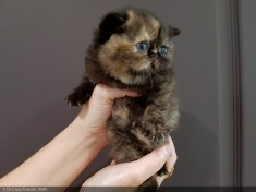 LOLLIPOP-BLACK-TORTIE-3-weeks (10 sur 14)