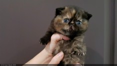LOLLIPOP-BLACK-TORTIE-3-weeks (12 sur 14)
