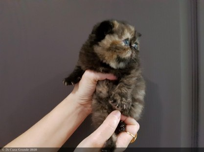 LOLLIPOP-BLACK-TORTIE-3-weeks (9 sur 14)