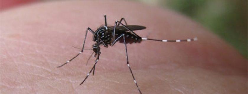 Resultado de imagem para mosquito da dengue isca humana braço