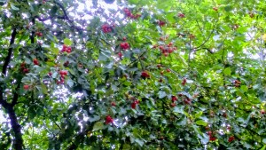 Crab Apple Tree Blooms in August.