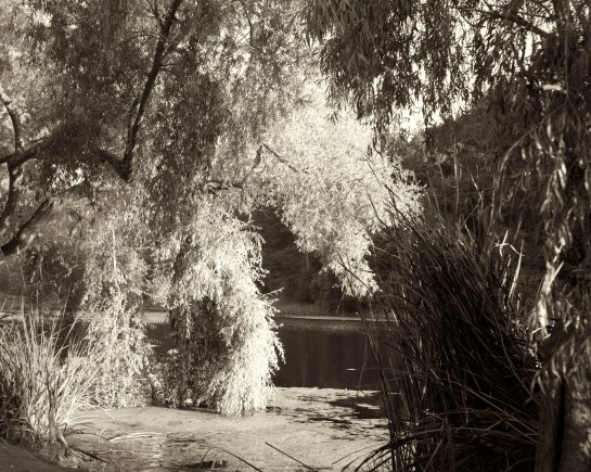 Willow and Light, Lake Temescal, Oakland, CA,  medium format film, Dida Kutz