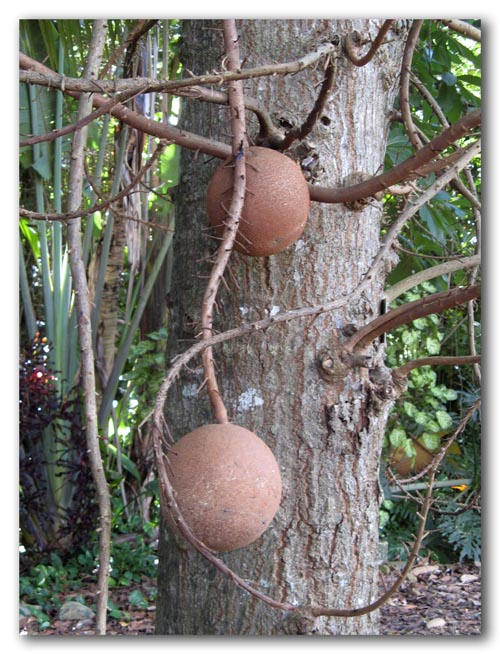 Cannonball tree fruit