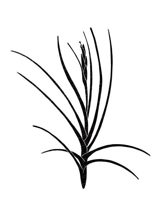 Impresión xilográfica, Tillandsia schiedeana I de Lucia Prudencio