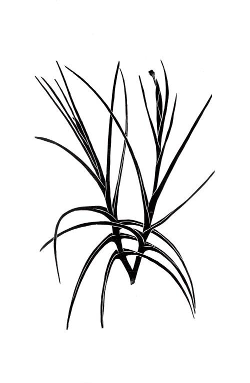 Xilografía, Tillandsia schiedeana II de Lucia Prudencio