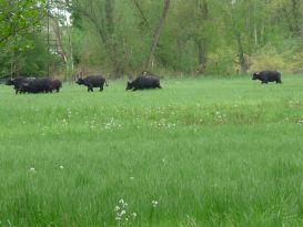 Plötzlich jagen die Büffel im Galopp davon