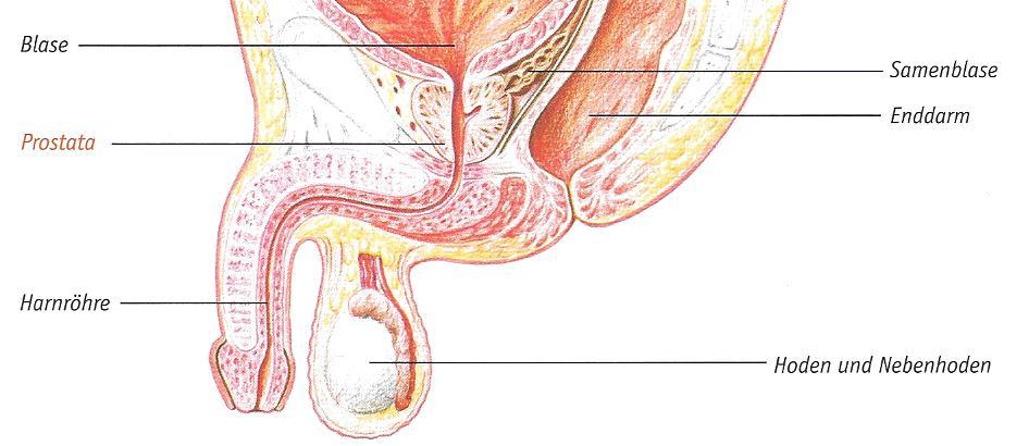 Prostata Funktionen, Krankheiten, News