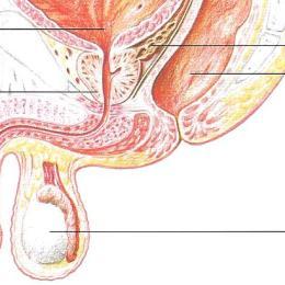 Wo liegt die prostata? unterhalb der Blase