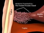 weibliche Prostata, Prostata der Frau, paraurethralen Drüsen, Skene-Drüsen