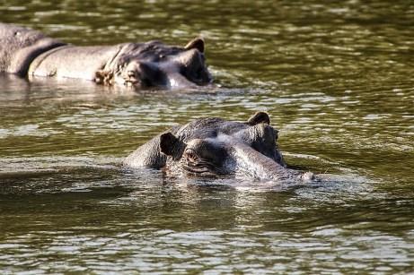 Kritisch beäugt wird die Land Rover Experience Tour von Flußpferden. © Land Rover