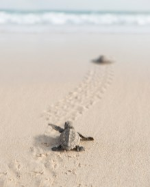 """Mit dem Projekt """"TUI Turtle Aid"""" schützt die TUI Care Foundation die Brutstätten der Meeresschildkröten an den Stränden und beteiligt Einwohner mit Sensibilisierungs- und Engagement-Programmen am Schutz der Tiere. (c) Anja Hölper"""