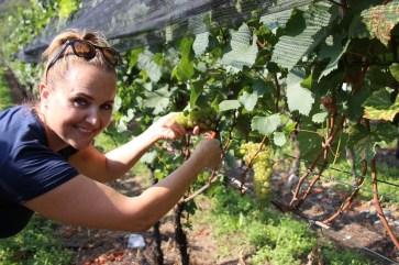 Karin ist eigens aus Zürich in den Tessin gereist, um bei der Ernte ihres Chardonnay tatkräftig mitzuhelfen. © Kurt Sohnemann