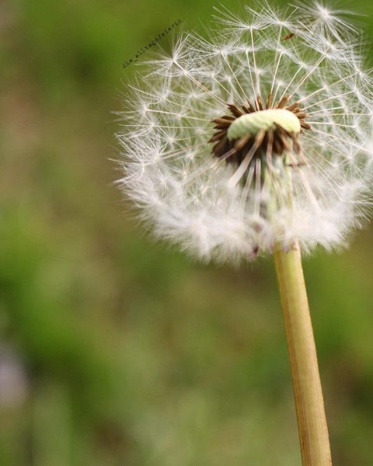 Pusteblume, Bye, bye, Papa, laufen, Natur, Naturfotografie