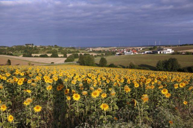 Sonnenblumen, Sonnenblumenfeld, morgen, Natur, Naturfotografie, wochenglueckrueckblick-060817