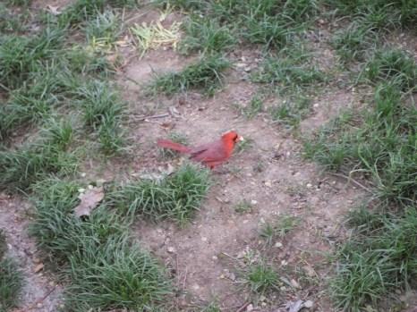 Ein Rotkardinal im Centralpark