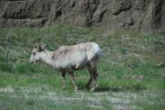 Bighorn Schaf