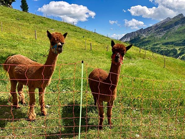 Obertauern-Hüttenwanderung: Alpakas auf der Hochalm.