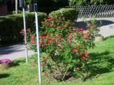 2017.05.27 - endlich Frühling -- Rosen vorm Balkon